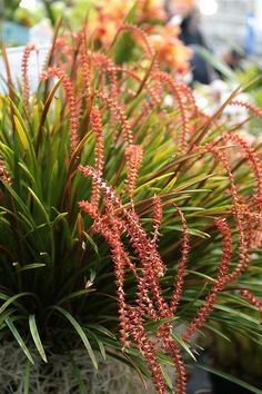 Dendrochilum wenzelii - Flickr - Photo Sharing!