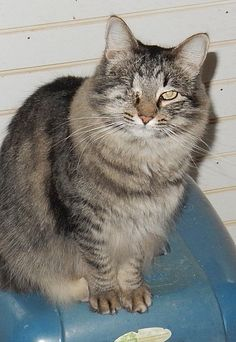Phoebe is a 4-year-old female cat with one eye. She's a soft, long-haired black tabby who gets along with people and other cats. She must be an indoor cat, but has no problem with just one eye. She was spayed and has all current vaccinations. Call Stillwater Cat Haven at 365-4861. Email stillwatercathaven@gmail.com. Go to www.stillwatercathaven.blogspot.com.  Go to www.redding.com for more adoptable pets.