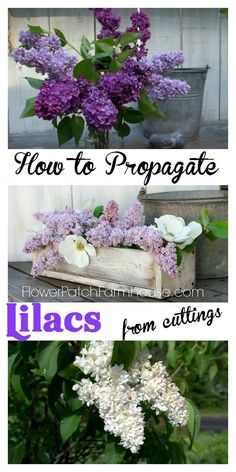 How to Progagate Lilacs from cuttings, it is easier than you think!  FlowerPatchFarmhouse.com