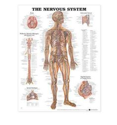 Featuring classic illustrations by Peter Bachin, this chart shows nerves in the body, brain, midbrain, medulla oblongata, and spinal cord. Spinal meninges, intercostal nerves, and sagittal section of female pelvis are also shown.