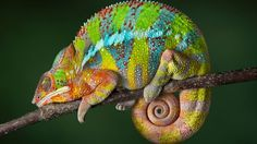 Chameleon-striped lizard-sleep-tail in round-Desktop HD Wallpapers for mobile phones-1920×1080