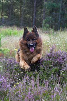 german shepherd dog - Jumping on flowers