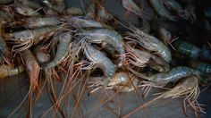 How Thailand's Dying Shrimp Are Killing an Indian Village — NOVA Next   PBS