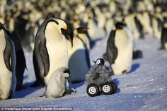 Where did you get your wheels? Baby penguin is baffled by his four-wheel drive buddy hiding a secret camera to film new wildlife movie :)