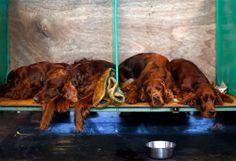 Exhaustos, cuatro perros Setter Irlandés descansan luego de participar en una exposición canina en Birmingham, Ingalterra | Excélsior