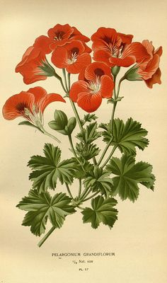 """Pelargonium grandiflorum"" - Plate 57 from ""Favourite flowers of garden and greenhouse"" (Vol. 1) by Edward Step; London and New York: Frederick Warne co., 1896"