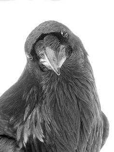 RAVEN THOUGHT - Fine Art Print, Raven Portrait
