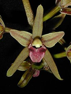 Andy's Orchids - Orchid Species - Cymbidium - devonianum