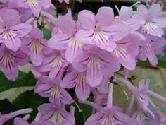 http://www.streptocarpussociety.org.uk/AURORA%20FL(02).jpg