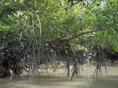 Over the past 50 years, aquaculture and commercial fish farming have wiped out world's mangrove forests which needs to be saved. http://www.sunderbanmangrove.com/