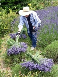 Course in growing lavender