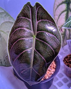 Pflanzen Alocasia aslanii Repairing Pinhole Leaks in Copper Pipes Article Body: Once you have detect Unusual Plants, Rare Plants, Exotic Plants, Cool Plants, Tropical Plants, House Plants Decor, Plant Decor, Trees To Plant, Plant Leaves