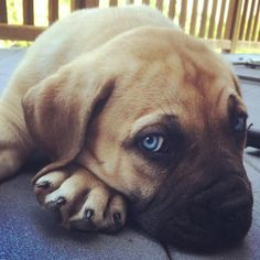 Sweet South African Boerboel Puppy