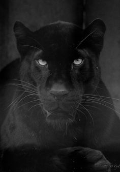 Panthera by Cyrille Eude, Black Animals, Animals And Pets, Cute Animals, Black Panthers, Beautiful Cats, Animals Beautiful, Wild Animal Wallpaper, Lions Live, Robin Hood