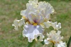 TB Iris 'Pewter and Gold' (Bruce Filardi, 2006)