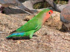 Inseparable de Namibia (Agapornis roseicollis) -->   Entre 15 y 18 cm de longitud y un peso entre 43 y 63 gramos.  Tiene las partes superiores de color verde, excepto en la grupa y las coberteras supracaudales que son de color azul brillante. La cola es verde, pero las plumas laterales tienen la base de color negro, bordes de color rojo anaranjado y una banda subterminal negra. Las plumas de vuelo tienen puntas negras.