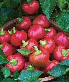 Cherry Stuffer Sweet Pepper Hybrid Seeds and Plants - Vegetable Gardening at Burpee.com