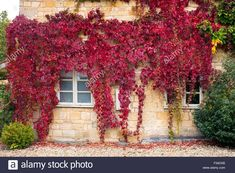 Virginia Creeper / American ivy covering a house in the Cotswolds, Gloucestershire, UK Gardening Zones, Gardening Tips, Creepers, Back Gardens, Outdoor Gardens, Fresco, Long Planter, Fachada Colonial, Virginia Creeper