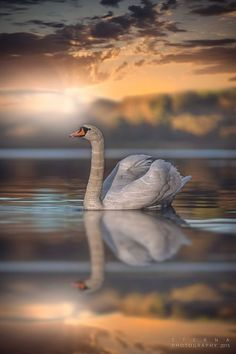 Swan at Sunset ~ by Eterna Photography