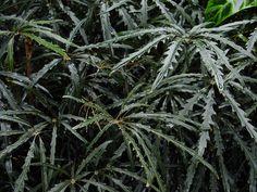 Dizygotheca (Schefflera) elegantissima  Falsa aralia