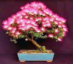 Albizia-Julibrissin-Mimosa-Bonsai-Persian-Pink-Silk-Blossoms-Tree-
