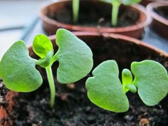 """indoor """"farm"""" haiku: yesterday's snow/vanished into thirsty soil/baby basil welcome sun"""
