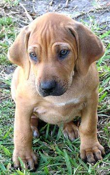 rhodesian-ridgeback puppy