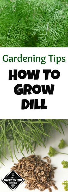 Learn how to grow cool season dill indoors and outdoors. Be sure to harvest dill seeds, too.
