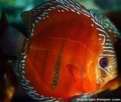 Strong colour red rose discus discus fish videos for Live discus fish for sale