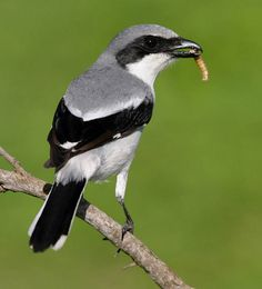"Called the ""Murderer"".    Loggerhead Shrike, this bird impales its prey on barbed wire. Often other birds."