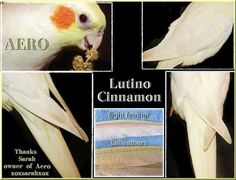 Lutino - Just Cockatiels!