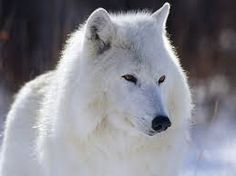 https://www.google.com/search?q=wolf