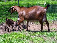 """It's autumn and my goats are ready to be bred. More than ready to be bred. My buck has been """"in rut"""" since late June. His face is sticky an..."""