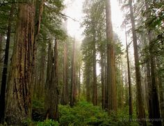 Red Wood Forest - California