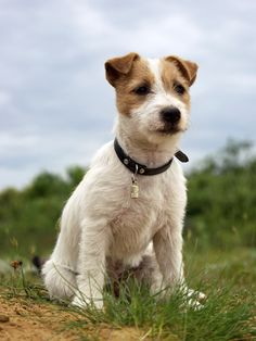 Jack Russells are mostly seen like this. *** Visit the image link for more details. #Dogs