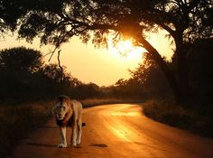 Lion on the Road A Beautiful Sunset with a Lion walking on the road, a composite of two photographs taken in the Kruger National Park