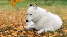 Fall+Nature+Backgrounds+with+Animals | Nature Autumn (season) Animals Leaves Dogs Husky Mammals Fallen Leaves ...