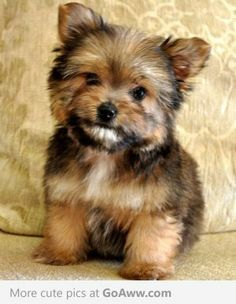 Aww it's a Porkie! Pomeranian and Yorkie mix