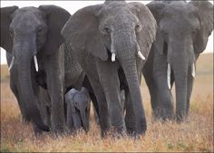 An African elephant family It has been reported that customs authorities in Sri Lanka have recently seized tons of ivory on the. Elephant Pictures, Elephants Photos, Save The Elephants, Baby Elephants, Elephant Images, Elephant Family, Elephant Love, Giraffe, Elephant Facts