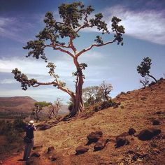 Treespotting en route to Blue Nile Falls. Red soil, blue sky, this is Ethiopia.
