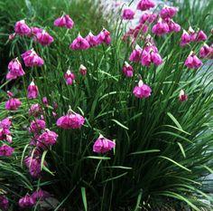 Photograph of Allium narcissiflorum