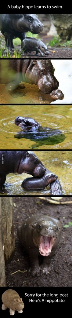 Baby hippo makes me happy - 9GAG
