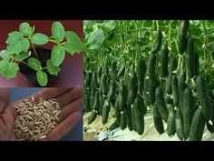Grow Cucumber Seeds Easy Way - YouTube Grow Cucumber, Cucumber Plant, Cucumber Seeds, Planting Seeds, Asparagus, Make It Yourself, Vegetables, Easy, Youtube