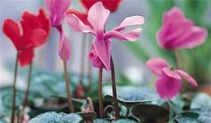 How to plant cyclamen from seeds