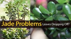 Jade Plant Problems… Leaves Dropping Off?