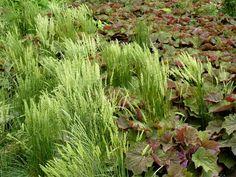 June Grass (Koeleria macrantha) is a native Wisconsin grass ...