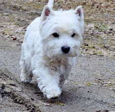 What a sassy little Westie