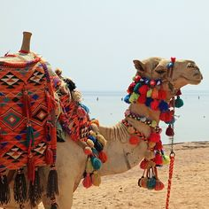 Colorful camel takes a break on the shores of the Red Sea in Egypt.