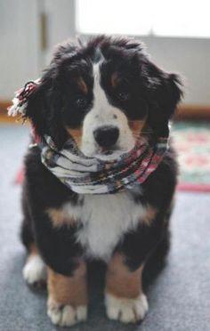 Bernese Mountain Puppy.