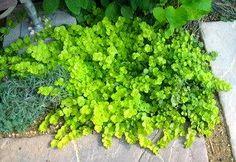 芝生の代わりのグラウンドカバー | - 狭い庭のガーデニング